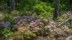 Ground mountain laurel