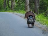 Tom turkey walking the road
