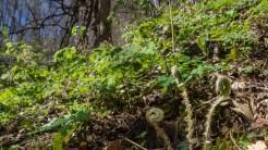 Fiddle head ferns