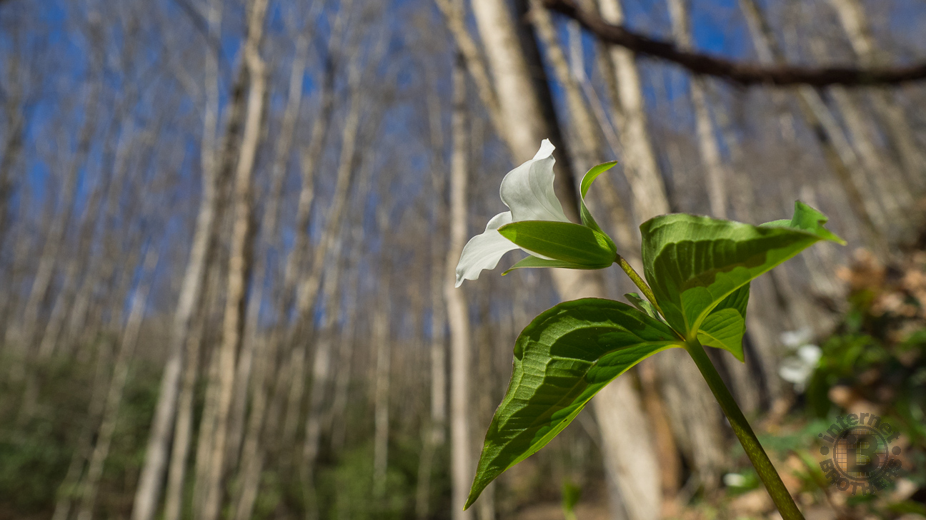 The white trillium was nearly everywhere along Kanati Fork Trail, first appearing near the trailhead, and continuing to bloom well above 4,000 feet.