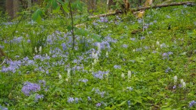 Phlox and foamflowers