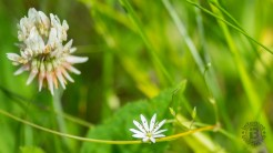 Clover and chickweed