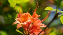 Flame azalea blossom