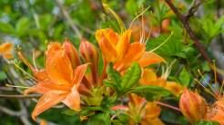Summer solstice azalea