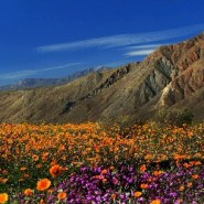 Spectacular bloom expected at Anza Borrego Desert State Park
