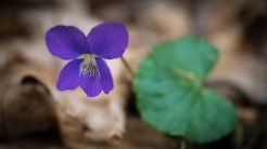 Another blue violet
