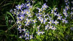 The bluets are plentiful