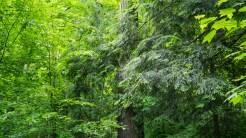 Hemlock boughs