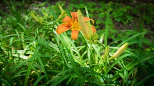 Non-native lily