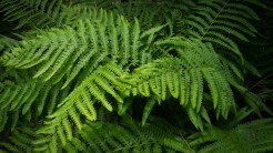 Giant fern fronds