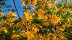 Fresh azalea blooms