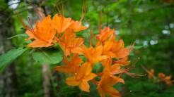 Orange flame azalea