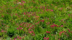 Field of indian paint brush