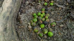 A puddle of hickory nuts