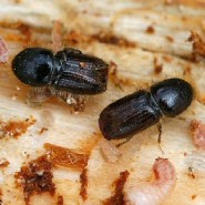 Small Pests, Big Problems: The Global Spread of Bark Beetles