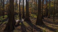 Fall in the cypress forest