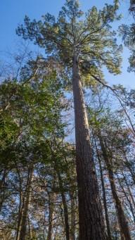 World champion loblolly pine