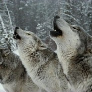 Wolves confirmed in Mount Hood National Forest