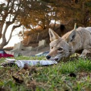 This coyote was stealing newspapers, so here's what the delivery man did