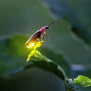 Fireflies are disappearing. Here's why — and what you can do to help.
