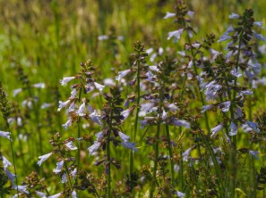 Field of lyreleaf sage