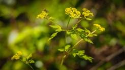 Meadow parsnip