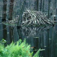 The Bountiful Benefits Of Bringing Back The Beavers