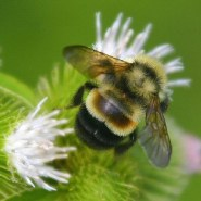Bumblebee Has Officially Been Added To The Ever-Growing List Of Endangered Species