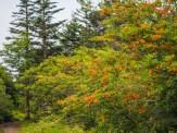 First azalea bush