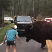 Suspect in Yellowstone bison incident arrested at Glacier National Park