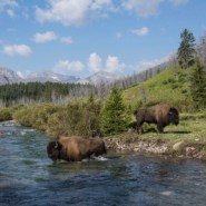 Plains bison roaming free in Canada's Banff National Park for first time in decades