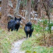 Invasive Feral Hogs Continue to Threaten Roan Highlands