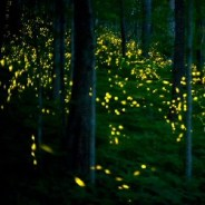 Springtime in the Great Smokies means synchronous firefly extravaganza is coming soon