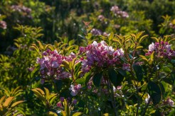 Fresh mountain laurel blooms