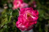 Hombre flower