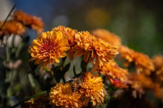 Pollinator enjoying the zinnias