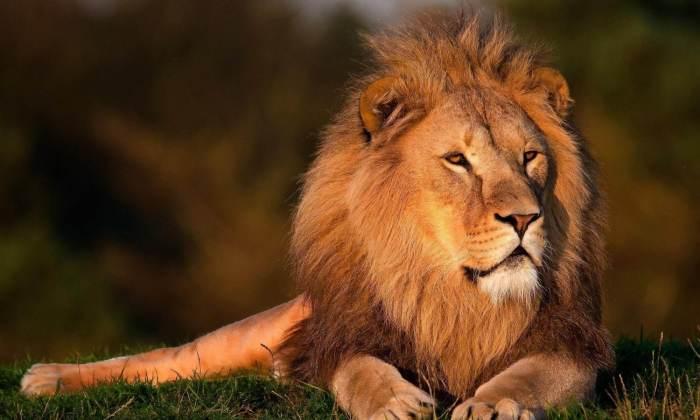 Ein Löwe blickt gelassen in die Weite.
