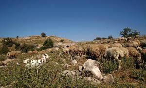 Schafherde in Israel