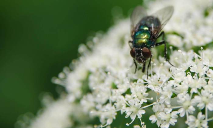 Eine Fliege auf der Blüte - Kleines Ding!