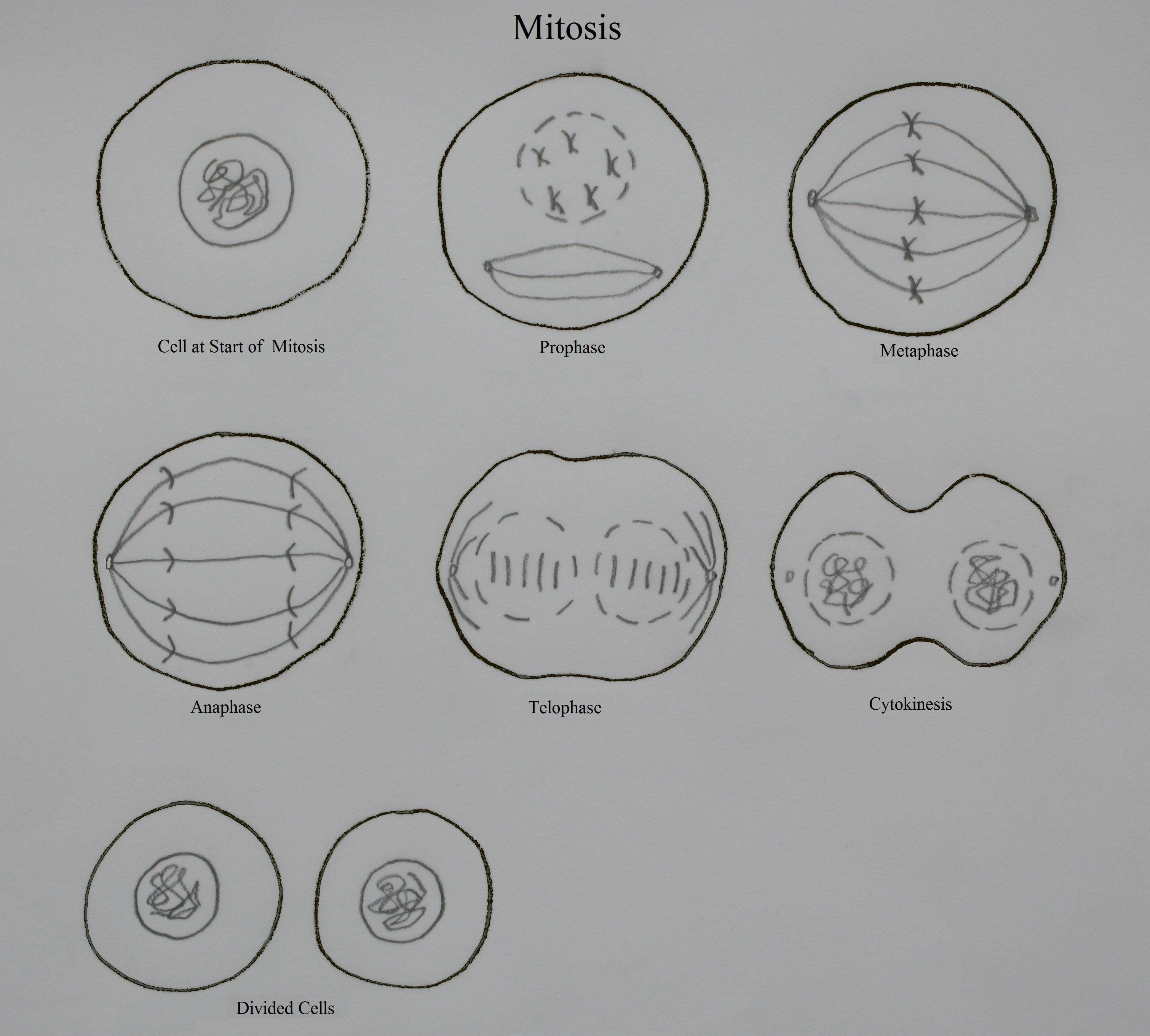 Worksheet Onion Cell Mitosis Worksheet Answers Grass Fedjp Worksheet Study Site