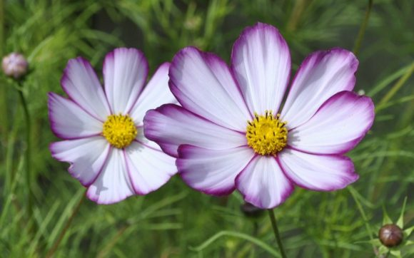 Cosmos-First-Easy-Flowers-to-Grow