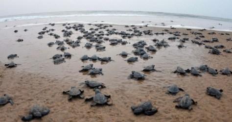 La cuarentena le permitió a las tortugas volver a las playas y desovar