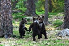 dancing-baby-bears-cubs-photography-valtteri-mulkahainen-1-4-5e46a1fb48398__700
