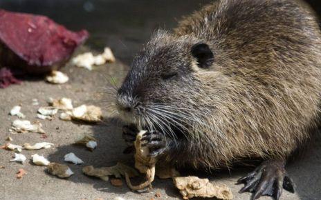 95145746 h 02726928 1 - South Korea warns against eating river rats