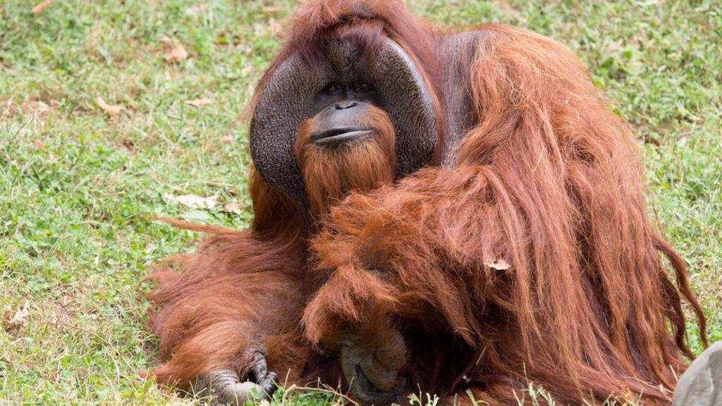 97248524 040982838 - Chantek, the orangutan who used sign language, dies at 39