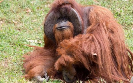 97248524 040982838 - Chantek, the orangutan who used sign language, dies at 39
