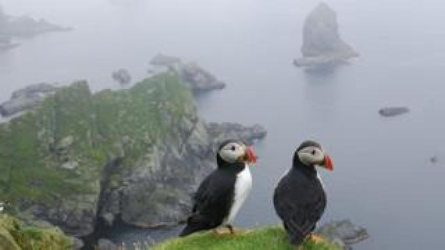 Atlantic Puffins on the island of Unst