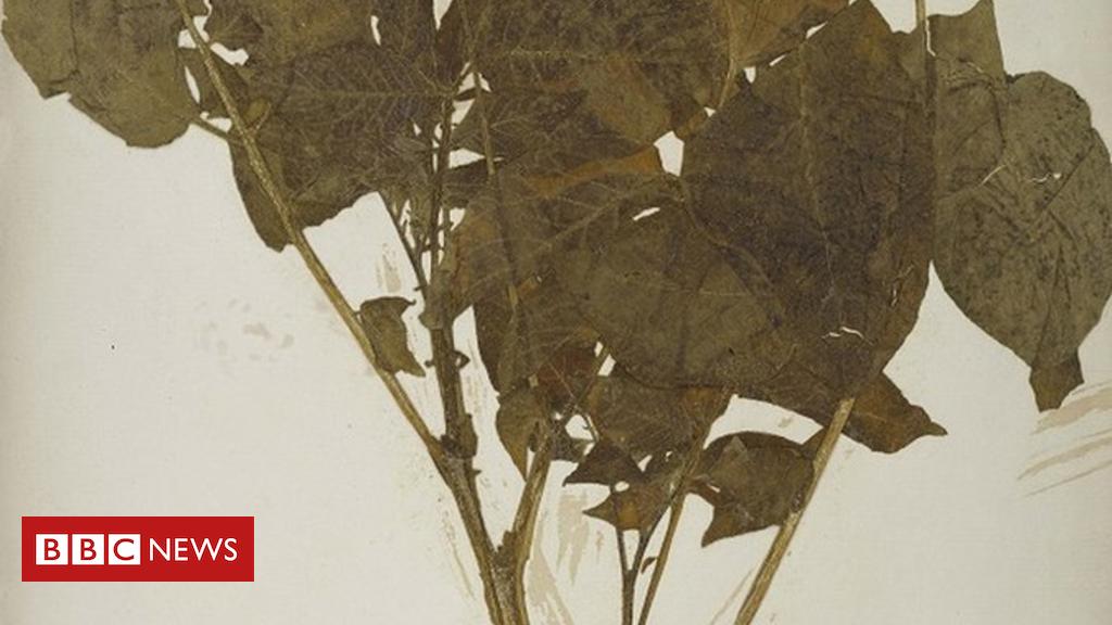 102518209 darwinpotato wsy0091474 - Nation's botanical treasures to go on display