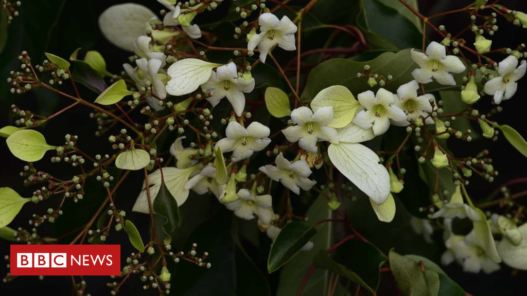 102909158 capture - Roath Park's rare Chinese tree flowers in heatwave
