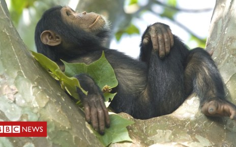 102924986 chimp getty - Palm oil: A new threat to Africa's monkeys and apes?